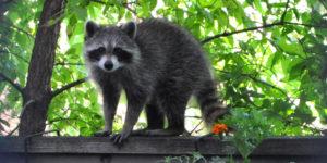 raccoon on fence