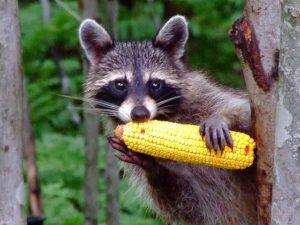 raccoon crop damage