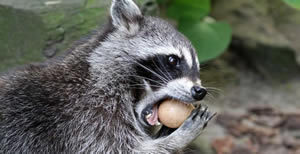 Raccoons and eggs do not mix